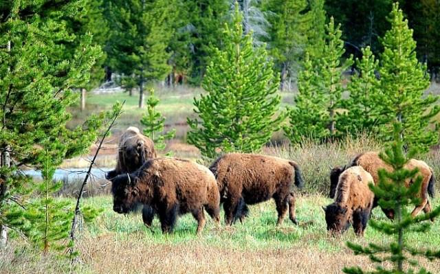 Tierra de Gigantes. Vaje a Yellowstone